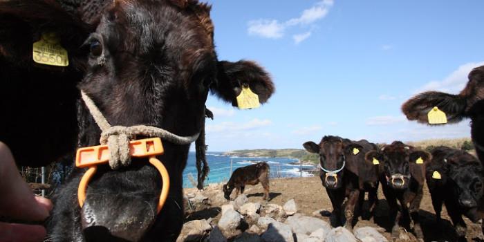 壱岐の島で「壱岐牛」と触れ合う!壱岐市特産、国産黒毛和牛のお味は?