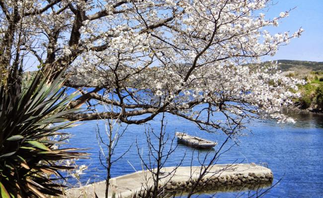 壱岐島の海辺に咲く「海桜」の特異な光景。半城湾(はんせいわん)山桜遊覧船でお花見!2016年春!