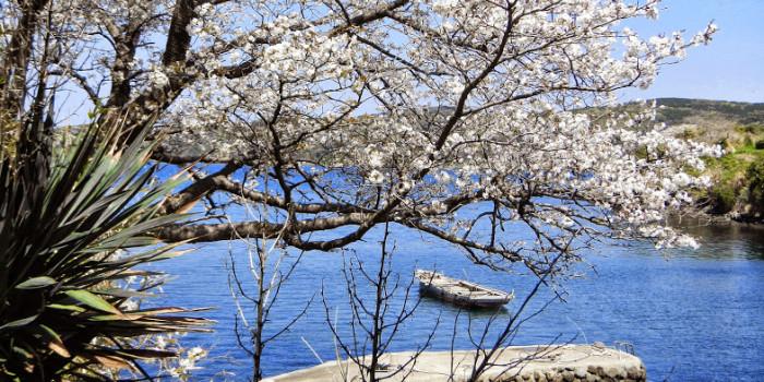 壱岐島の海辺に咲く「海桜」の特異な光景。遊覧船でお花見!2017年春!半城湾(はんせいわん)