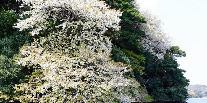 海辺に咲く「海桜」を遊覧船でお花見!2018年春!半城湾(はんせいわん)