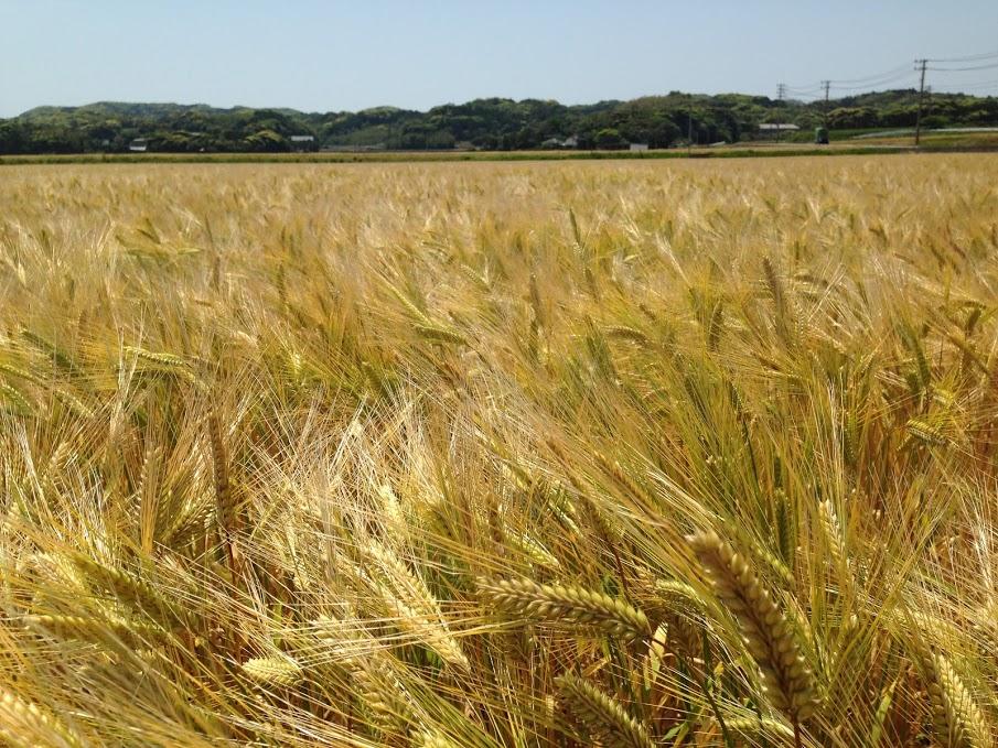 深江田原平野の大麦