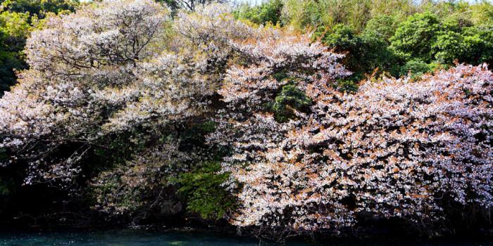 長崎県壱岐島の海辺に咲く「海桜」の特異な光景。遊覧船でお花見!2018年春!半城湾(はんせいわん)